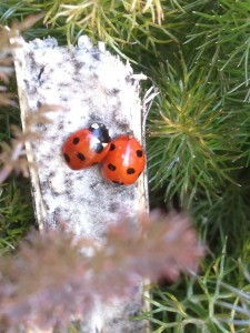 2 7-spot ladybirds overwintering in under cover of a fennel plant in the local allotment